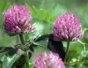 Red Clover Extract powder   -Gao