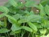 100% Natrual Diuretic Alisma Extract Alisol 10:1