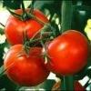 Tomato P E