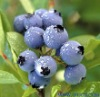 Chinese Bilberry P. E.