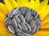 sunflower seeds 5009 new crop 2012
