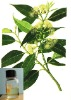 Eucalyptus Oil; eucaly puts oil