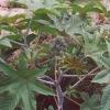25kg Castor Oil, (Ricinus communis), CAS 8001-79-4, FEMA 2262, EINECS 32-293-8