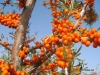 Seabuckthorn Seed Oil by CO2