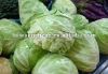 2012 round fresh cabbage on sale !