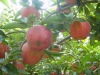 New crop fresh Fuji apple