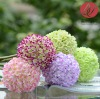 wholesale chrysanthemum flower ball bouquet for home and wedding decoration