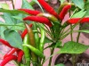 Chilli oleoresin