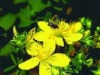 St. Johns Wort Extract hypericins 0.3%