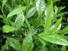 100% Natural Pu Erh Tea Polyphenols