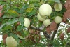 white golden delicious apple