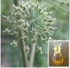 100% pure natural plant extract Angelica essential oil with high quality and reasonable price for hot sale