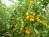 Farm Fresh Crown Small Yellow Tomato