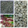 100%Arabica green coffee beans hot sell! 2011 new crop