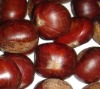 FRESH CHINESE CHESTNUT IN SHELL NEW CROP