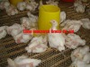 TAIYU poultry farm (egg laying birds,broilers,breeding chicken, day old chicken)