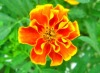 Flower seeds wholesale,French Marigold seeds for beautiful flower plant pot,plant seed(007004)