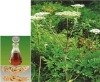 Natural Angelica Essential Oil with top quality and low price, ISO 9001/CE