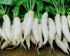 All Types of Fresh Chinese Long White Radish On Sale