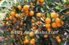 2012crop Mandarin Orange