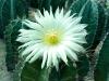 isoflavones/ Hoodia Cactus extract