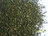 Green Tea fannings/dust/cut
