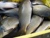 frozen freshwater carp,jian carp,