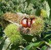 2012 Organic Chinese Fresh Raw Chestnuts