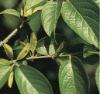 supply Eucommia leaves extract Chlorogenic Acid (5-98%)