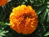 zeaxanthin/lutein/nutrition additive/xanthophyll/marigold extract