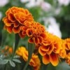 High quality Marigold P.E,CAS:127-40-2