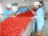 Brix 28-30/drum tomato paste/2010 Crop/220L Aseptic bags