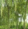 Herb Plant Extract White willow bark P.E.