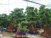 Big Bonsai Ficus Microcarpa
