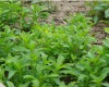 High Quality Organic Stevia--Steviosides