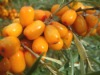Seabuckthorn Concentrated Juice for fruit beverage