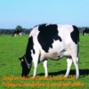 cow feed additives--yeast feed