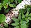 Supply Birch Bark Extract Powder With Betulin 70%-98%