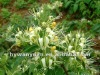 Top Herb Medicine Japanese Honeysukle Flower