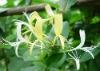 Top Herbmedicine Dried Honeysuckle Flower/Japanese Honeysuckle