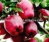 Shandong Yantai New Apples from China