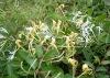 Honeysuckle Flower Extract/P.E.