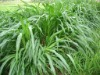 high yield forage grass seed,su dan grass seed