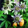 Passion Flower PE