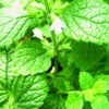 natural Lemon Balm Extract 3% 5% Rosmarinic acid