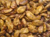 frozen silkworm pupae(New season products)