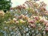 Magnolia Bark P.E.