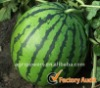 Red High globe shapesugar seedless hybrid Honey Treat watermelon seed