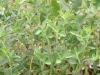 stevia product