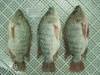 fish frozen tilapia Gutted and Scaled